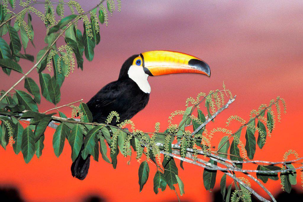 Toco Toucan (Ramphastos toco), captive. Pantanal, Brazil : Stock Photo