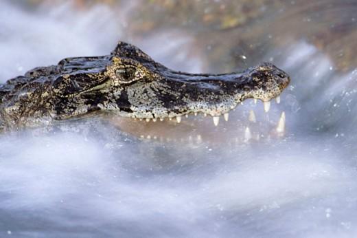 Stock Photo: 1566-0185412 Yacare Caiman (Caiman crocodylus yacare). Pantanal, Brazil