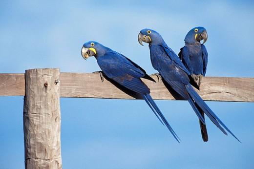 Hyacinthine Macaws (Anodorhynchus hyacinthus). Pantanal, Brazil : Stock Photo