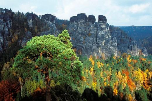 Scots Pine (Pinus sylvestris) in autumn colors. Sächsische Schweiz National Park. Germany : Stock Photo