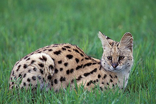 Serval (Felis serval). Masai Mara. Kenya : Stock Photo