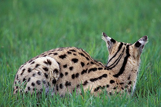 Stock Photo: 1566-0185468 Serval (Felis serval). Masai Mara. Kenya
