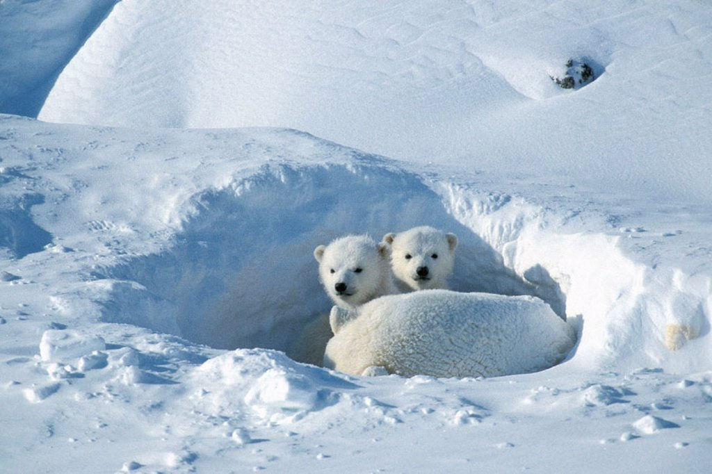 Stock Photo: 1566-0185491 Polar bear (Ursus maritimus), female and two cubs. Cape Churchill, Manitoba. Canadian Arctic
