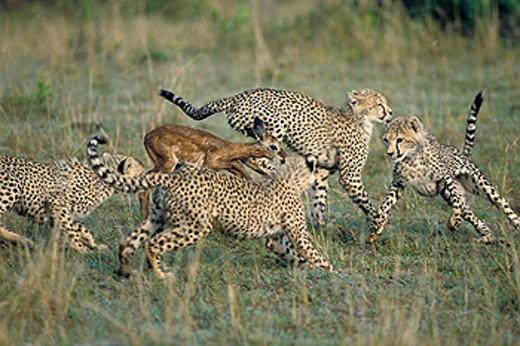 Stock Photo: 1566-0185511 Cheetah (Acinonix jubatus) chasing Impala (Aepyceros melampus). Masai Mara. Kenya
