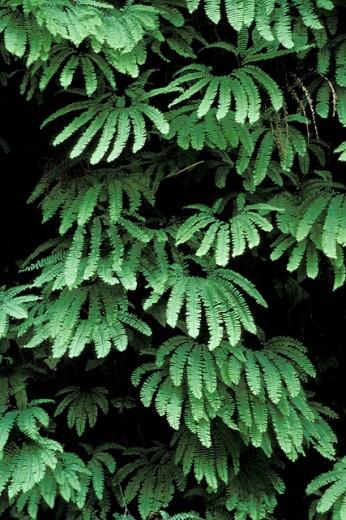 American Maidenhair Fern (Adiantum pedatum). Redwood National Park. California. USA : Stock Photo