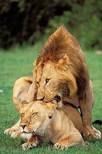 Lions (Panthera leo) mating. Masai Mara. Kenya : Stock Photo