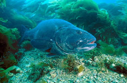Giant Sea Bass (Stereolepis gigas), rare protected species living to over 70 years. California to Baja (Mexico), Eastern Pacific : Stock Photo
