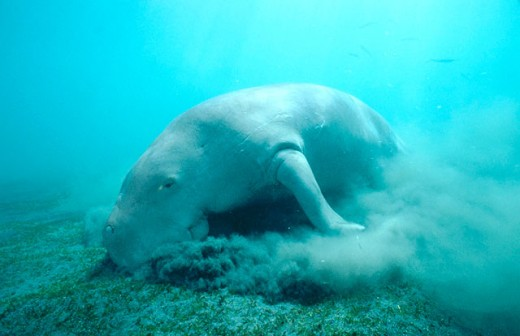 Stock Photo: 1566-0186074 Dugong (Dugong dugon) adult male feeding on sea grass (Cymodocea serrulata). Tropical Indo Pacific from the Red Sea to Vanuatu