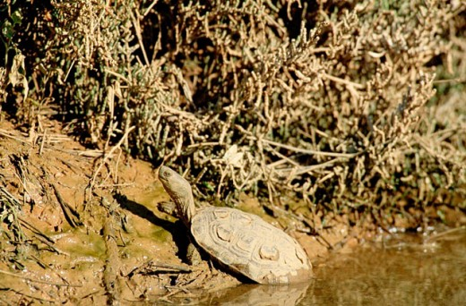 Stock Photo: 1566-0187693 Spanish Terrapin (Mauremys leprosa) basking at one of the tributary streams of the Fuente de Piedra lagoon near Antequera. Málaga province, Andalusia, Spain