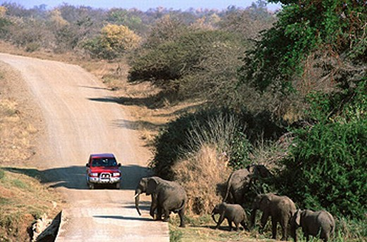 Stock Photo: 1566-0187816 African Elephants (Loxodonta africana), breeding herd crossing road at the bank of the Olifants River. Kruger NP. South Africa
