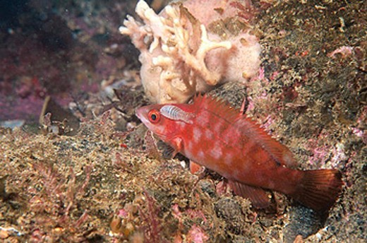 Ballan Wrasse (Labrus bergylta) with parasitic Isopod (Anilocra physodes). Galicia, Spain : Stock Photo