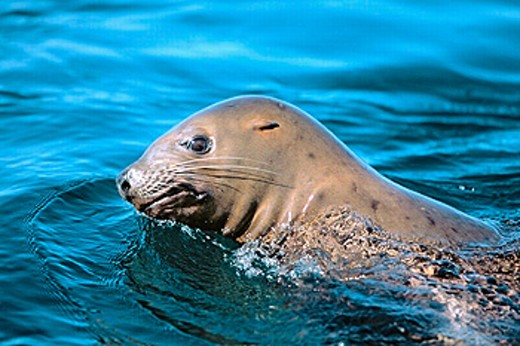 Subadult Steller sea lion (Eumetopias jubatus). Brothers islands. Southeast Alaska. USA. : Stock Photo