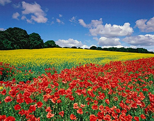 Stock Photo: 1566-0188114 Oil seed rape field in flower with corn poppies in the margins. June. Hertfordshire. England. UK.