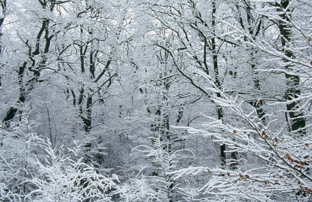 Snow-covered branches. Germany : Stock Photo