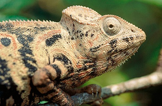 Oustalet´s Chameleon (Furcifer oustaleti) : Stock Photo