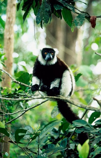 Stock Photo: 1566-0189389 Ruffed Lemur (Varecia variegata). Madagascar