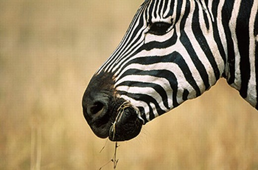 Burchell´s zebras (Equus burchelli) : Stock Photo