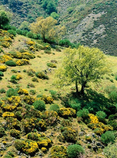 Stock Photo: 1566-0189533 Gall-oaks and spring. Ambroz valley. Cáceres province. Spain.