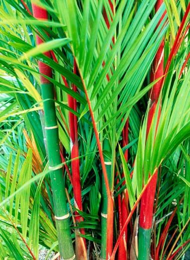 Palm trees. Hawaii, USA : Stock Photo