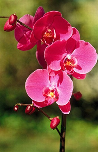 Orchid. Hawaii. Island of Hawaii. : Stock Photo