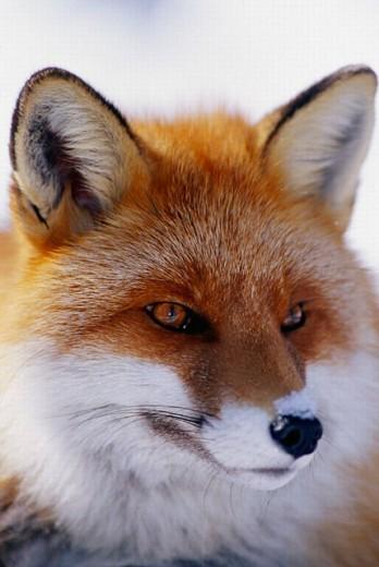 Red Fox (Vulpes vulpes). Lycksele, Västerbotten, Sweden : Stock Photo