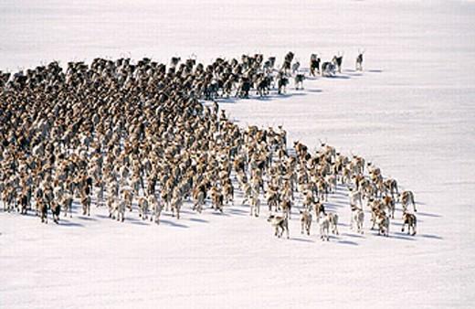 Reindeer (Rangifer tarandus) herd moving across an icy river. Kusfors, Västerbotten, Sweden : Stock Photo