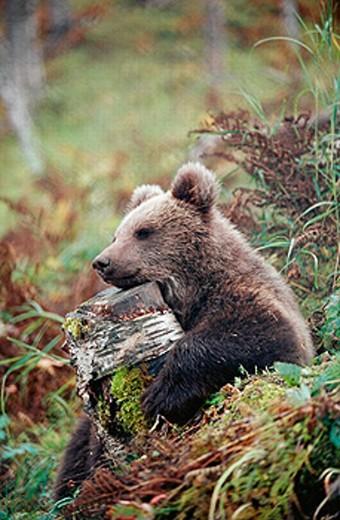Stock Photo: 1566-0191176 Brown Bear (Ursus arctos) in captivity. Norway