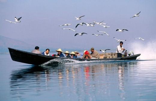 Seagulls following boat on lake. Inle Lake. Shan State. Myanmar. : Stock Photo