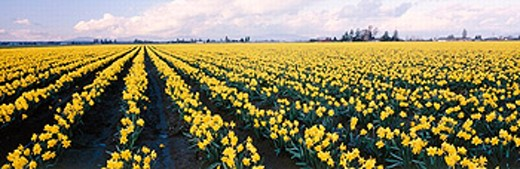 Narcissus, Daffodil fields. Skagit Valley, Skagit County. Washington. USA. : Stock Photo