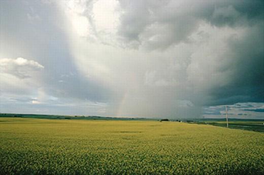 Stock Photo: 1566-0192823 Storm over canola field. Alberta. Canada