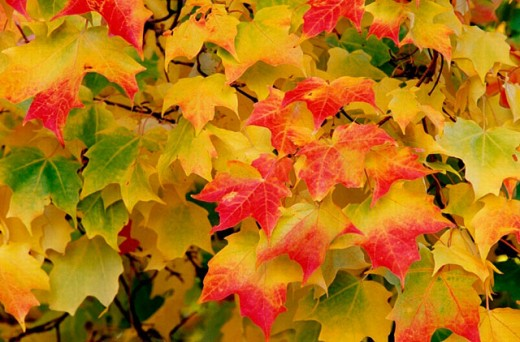 Maple leaves in autumn : Stock Photo