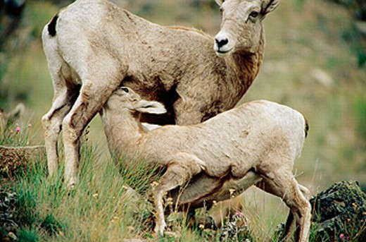 Stock Photo: 1566-0192991 Bighorn sheep (Ovis canadensis) yearling suckling from its mother
