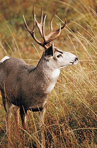 Mule deer buck (Odocoileus hemionus). National Bison Range. Montana. USA : Stock Photo