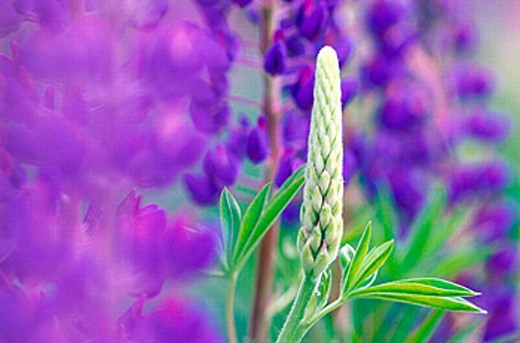 Garden lupin (Lupinus polyphyllus). Sweden. : Stock Photo