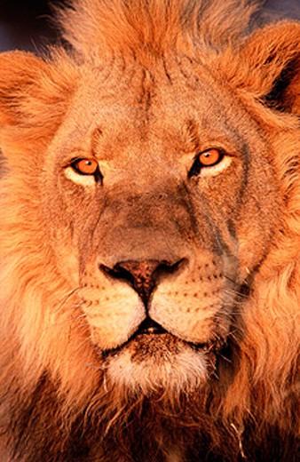 Lion (Panthera leo) in captivity. Game Farm. Namibia. : Stock Photo