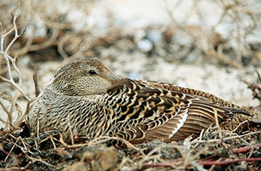 Common eider, female, breeding (Somateria molissima). Island of Helgoland. Germany. : Stock Photo