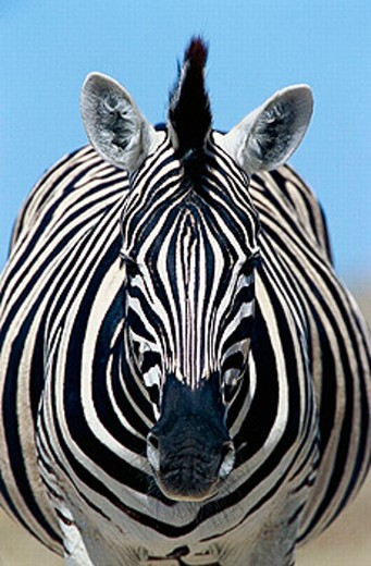 Stock Photo: 1566-0194652 Burchell´s Zebra (Equus Burchelli). Etosha National Park. Namibia