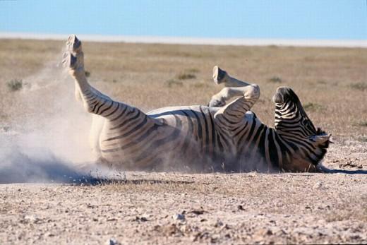 Burchell´s Zebra (Equus burchelli). Etosha National Park. Namibia : Stock Photo