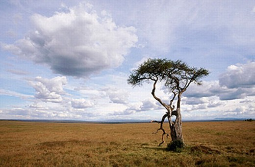 Stock Photo: 1566-0195369 Acacia tree. Masai Mara, Kenya