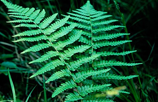 Broad Buckler Ferns (Dryopteris dilatata) in pair, wild plant. Salcey forest, Northamptonshire, England, UK : Stock Photo