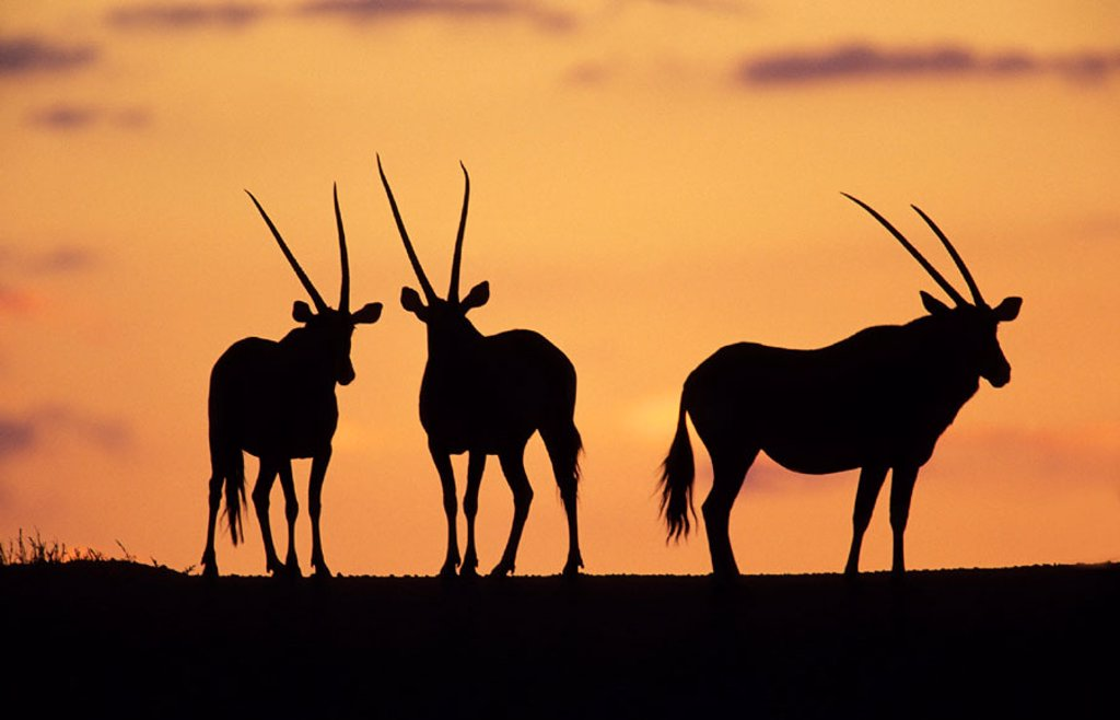 Stock Photo: 1566-0198341 Gemsbok (Oryx gazella). Herd at sunset. Kgalagadi Transfrontier Park. Kalahari, South Africa