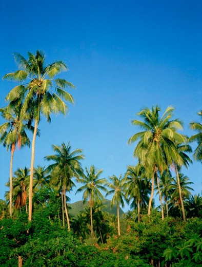 Coconut palm trees. Moorea island. Windward islands. French Polynesia : Stock Photo