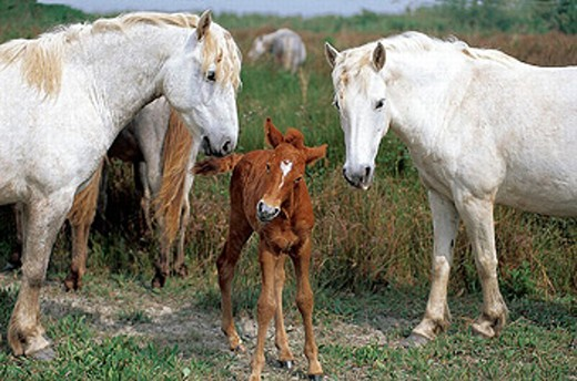 Stock Photo: 1566-0200459 Wild horse of Camargue. Mares and foal. Camargue. Southern France