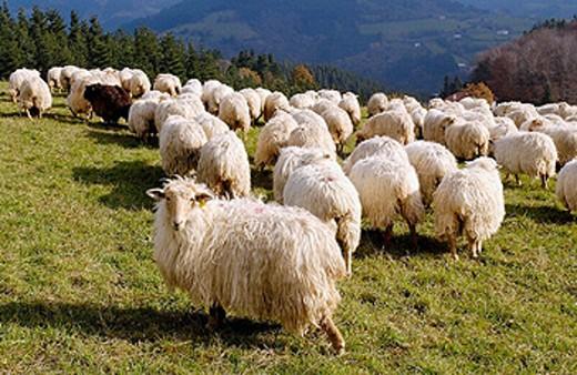 Stock Photo: 1566-0201081 Sheep. Mount Irimo. Urretxu, Gipuzkoa, Euskadi. Spain.