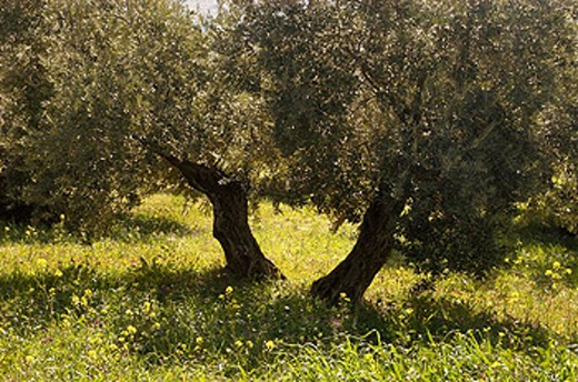 Olive grove near Carcabuey. Córdoba province, Spain : Stock Photo