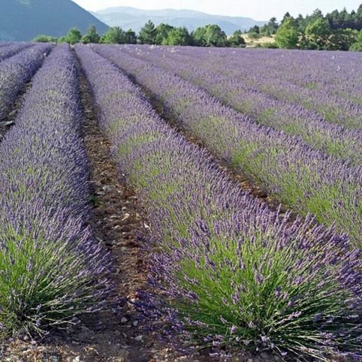 Stock Photo: 1566-0202496 Blossoming lavender field. Vaucluse, Provence. France.