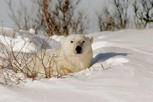 Stock Photo: 1566-0205158 Adult Polar Bear (Ursus maritimus) resting in day bed of fresh snow near Churchill, Manitoba, Canada.