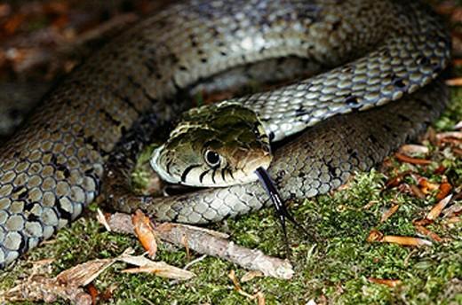 Stock Photo: 1566-0207662 Grass Snake (Natrix natrix)