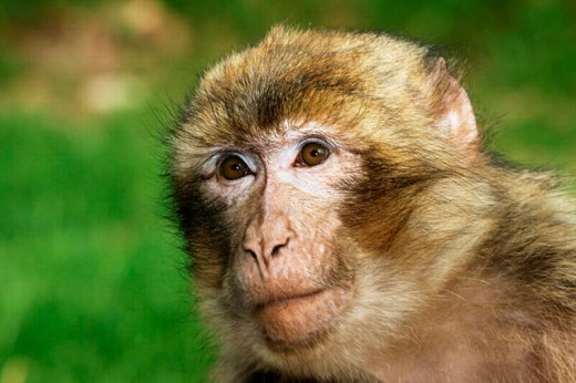 Stock Photo: 1566-0207787 Barbary Macaque (Macaca sylvanus)