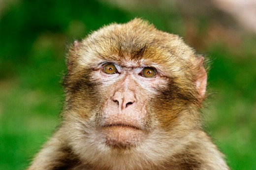 Stock Photo: 1566-0207788 Barbary Macaque (Macaca sylvanus)